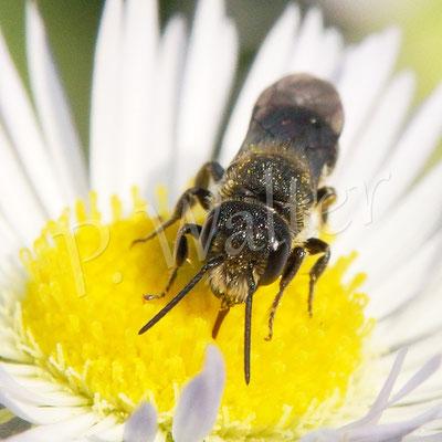 28.05.2018 : Löcherbiene auf einer Blüte des Einjährigen Berufkraut