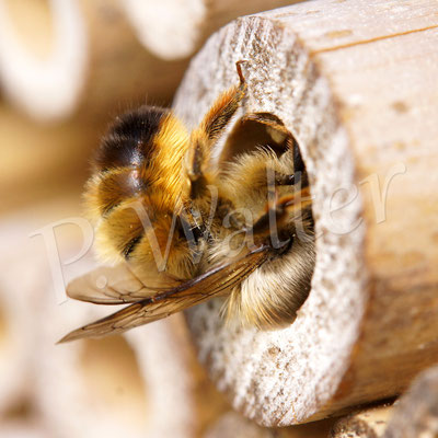 02.05.2016 : Rostrote Mauerbiene beim Verschließen einer Niströhre