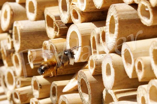 02.05.2015 : Rostrote Mauerbiene mit Baumaterial