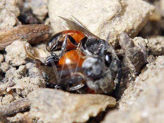 """18.06.2017 : Blutbienen""""gerangel"""", drei Stück ineinander verkeilt"""