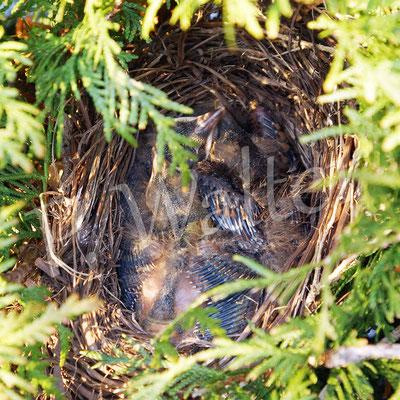 12.04.2015 : der Amselnachwuchs, auf diesem Schnellschuss drei Schnäbel erkennbar ... (zwei Tage später war das Nest leergeräumt)