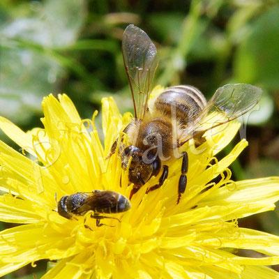 20.08.2017 : Löcherbiene am Löwenzahn, mit einer Honigbiene zum Größenvergleich !