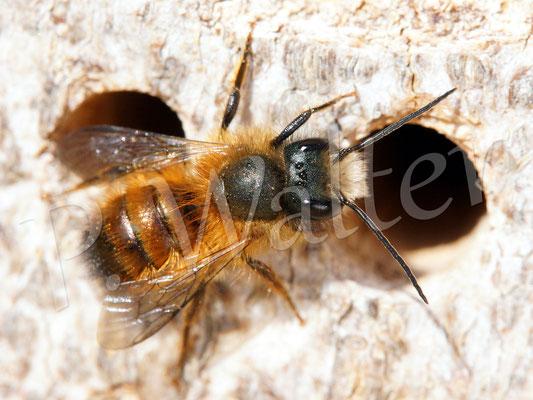 09.04.2016 : Rostrote Mauerbiene, Männchen wartet (noch vergeblich) ein die Weibchen