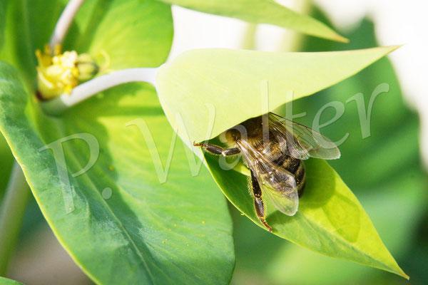 21.05.2016 : Honigbiene in der äußeren Blüte der Kreuzblättrigen Wolfsmilch