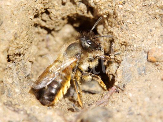 28.05.17 : Rostrote Mauerbiene an einer Lehmquelle, hier schon mit Lehmklumpen in ihren Zangen