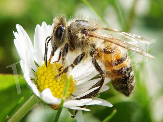 03.09.2017 : Honigbiene am Gänseblümchen