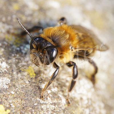 01.05.2016 : Glänzende Düstersandbiene, Andrena nitada