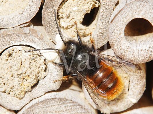 03.04.2018 : Männchen der Gehörnten Mauerbiene
