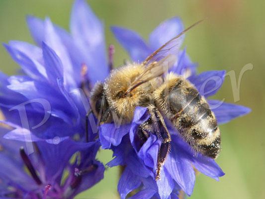 03.10.2017 : Honigbiene an einer der unermüdlich blühenden Kornblumen