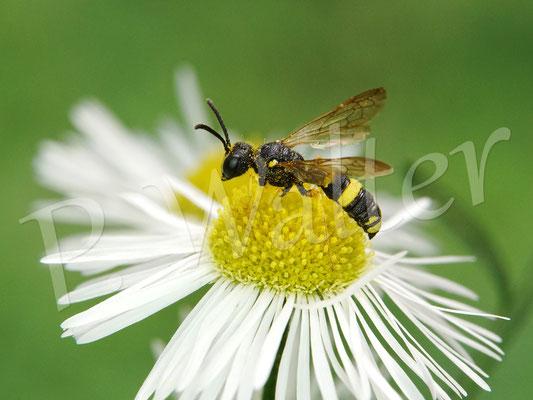 10.09.2020 : wohl die Bienenjagende Knotenwespe am Einjährigen Berufkraut