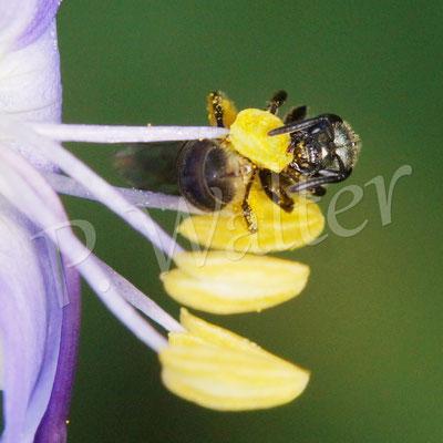 18.07.2015 : eine Furchenbiene an der Jakobsleiter