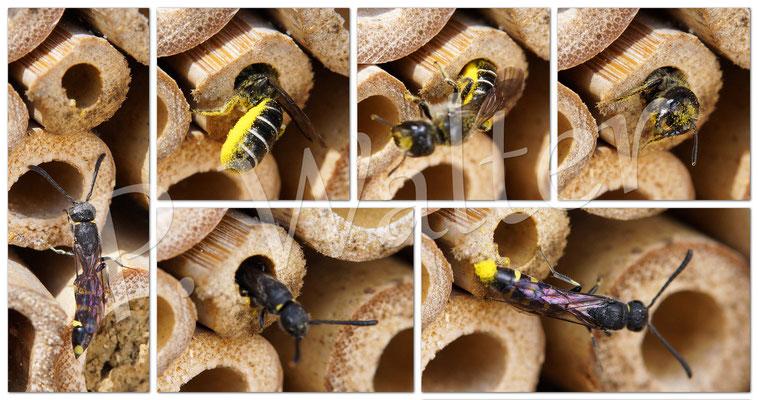 06.06.2015 : Hahnenfuß-Scherenbiene, die von Keulhornwespe parasitiert wird