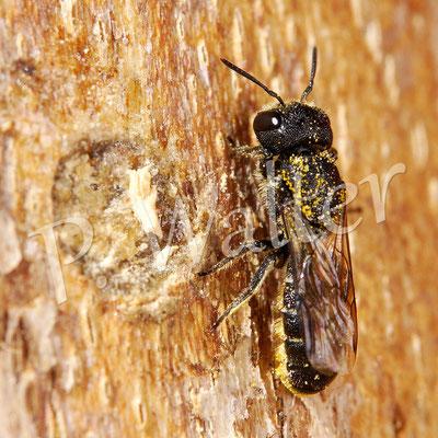 27.09.2014 : Löcherbiene hat mit Holzstückchen den Harzverschluss verkleidet