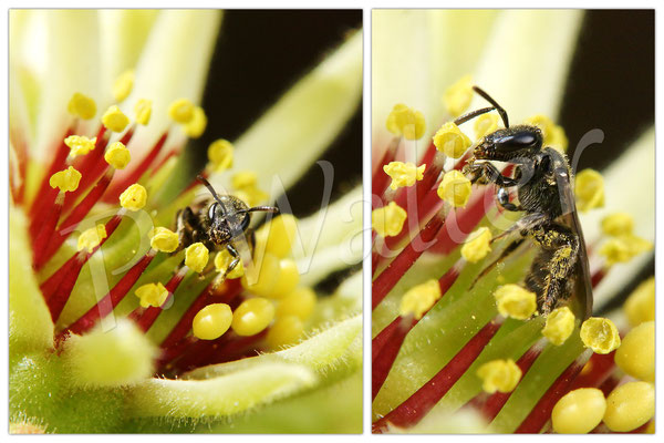 09-07.2016 : Furchenbiene an der Blüte einer Hauswurz