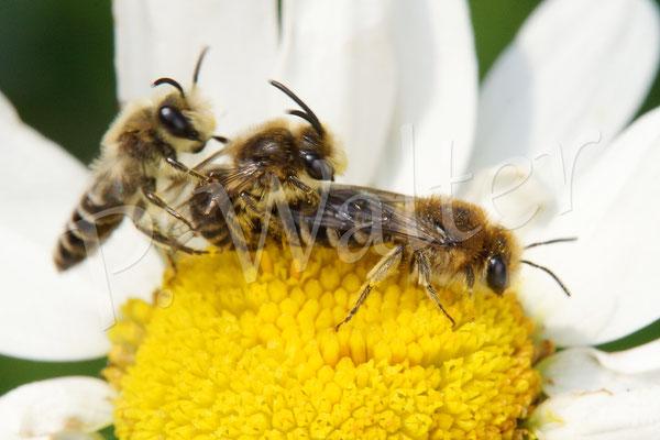 03.06.2017 : Seidenbienen bei der Paarung, mit Störenfried