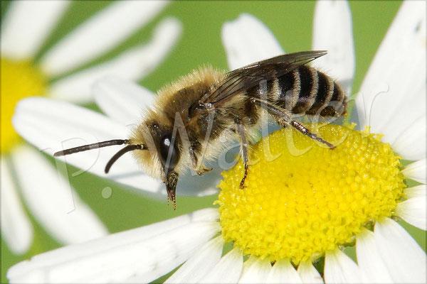 22.06.2016 : Seidenbiene (sehr wahrscheinlich) auf einer Kamille