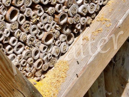 21.06.2017 : die Löcherbienen sind voll im Gange, alte (und auch neue) Nistgänge zu säubern !