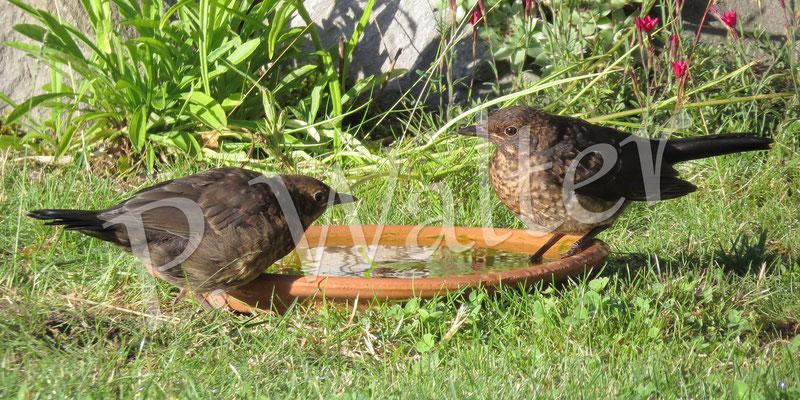 30.06.2015 : eins der beiden Amselküken mit ihrer Mutter (längere Schwanzfedern)