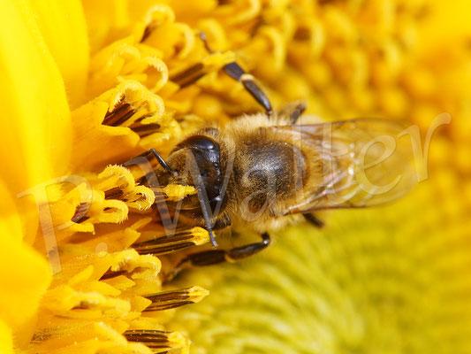 22.08.2017 : Honigbiene an einer Sonnenblume