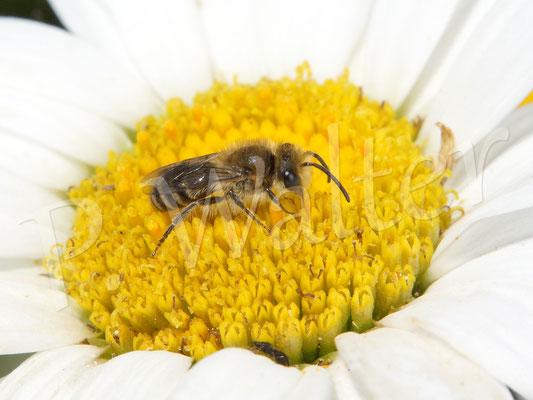 08.07.2017 : Seidenbiene auf einer Margarite