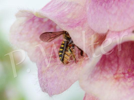 06.07.2015 : Wollbienenweibchen im Fingerhut