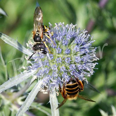 14.07.2017 : Wildbiene (Sandbiene?) und ein Bienenwolf an einer Distelblüte