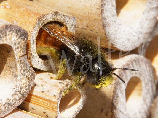 """26.03.2017 : ein Weibchen der Gehörnten Mauerbiene an """"ihrem"""" Bambusstengel (neben dran waren schon zwei weitere fleißig)"""