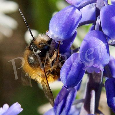 18.04.2015 : Männchen der Rostroten Mauerbiene an der Traubenhyazinthe