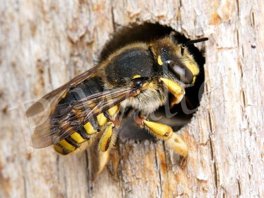 06.08.2016 : Garten-Wollbiene, Weibchen, kommt aus ihrem Schlafplatz