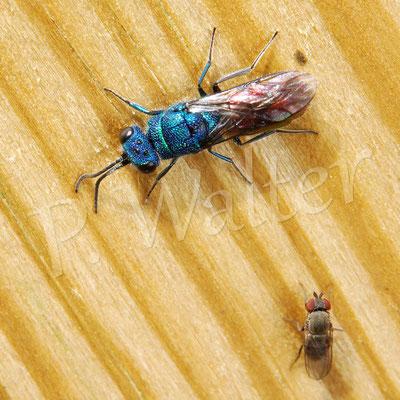 03.05.2015 : Goldwespe mit kleiner (Tau?)Fliege