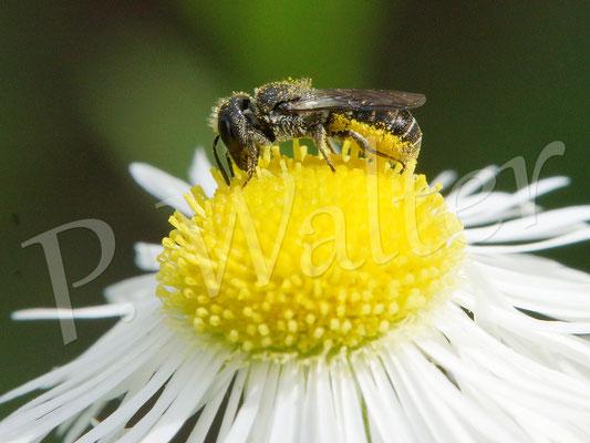 09.07.2016 : Löcherbiene auf einer Blüte des Einjährigen Berufkraut´s