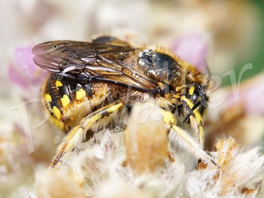 01.07.2017 : verregnete Wollbiene, anscheinend mit vielen Milben am Körper