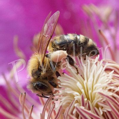 """01.06.2015 : Honigbiene an der Clematis """"Dr. Ruppel"""""""