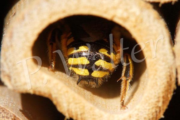 """23.08.2014 : Wollbienen""""hintern"""" mit dem typischen Dreizack (Männchen)"""