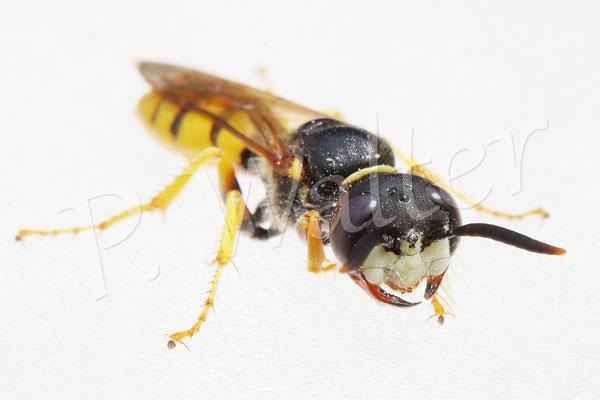 26.07.2017 : Bienenwolf, ein Weibchen, auf meiner Lampe
