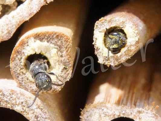 04.07.2016 : rechts eine Löcherbiene, links wird ihre Nachbarin von einer Keulhornwespe parasitiert