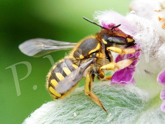 12.06.2016 : Garten-Wollbiene, Anthidium manicatum, am Woll-Ziest