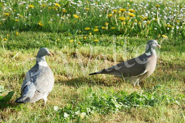 30.04.2018 : Ringeltauben, regelmäßige Gäste im Garten