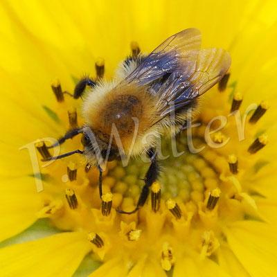 05.09.2016 : Hummel an einer Mini-Sonnenblume