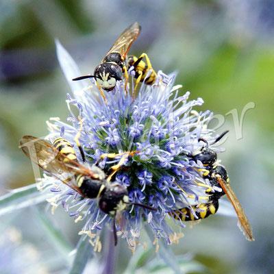 26.07.2017 : Bienenwölfe, drei Männchen, an Distelblüte