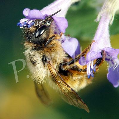 29.05.17 : Rostrote Mauerbiene an einer Katzenminzenblüte