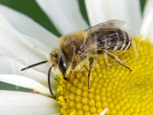 25.05.2017 : Seidenbiene auf einer Wiesenmargarite