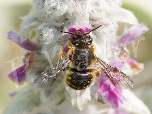25.06.2015 : erstes zeigbare Wollbienenfoto des Jahres, bisher aber nur ein einzenes Männchen unterwegs