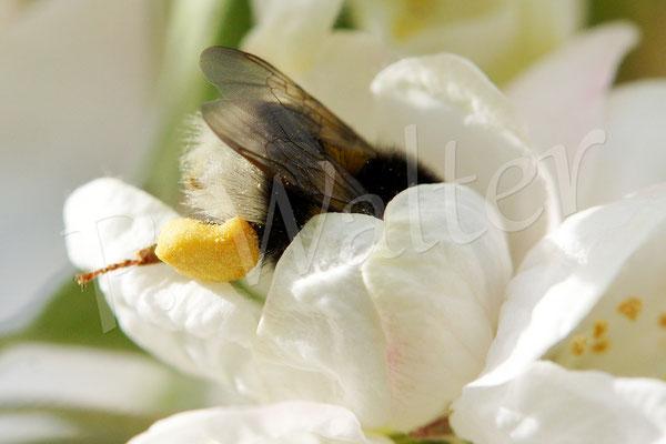 01.05.2015 : Erdhummel (Bombus terristris) an der Zierapfelblüte