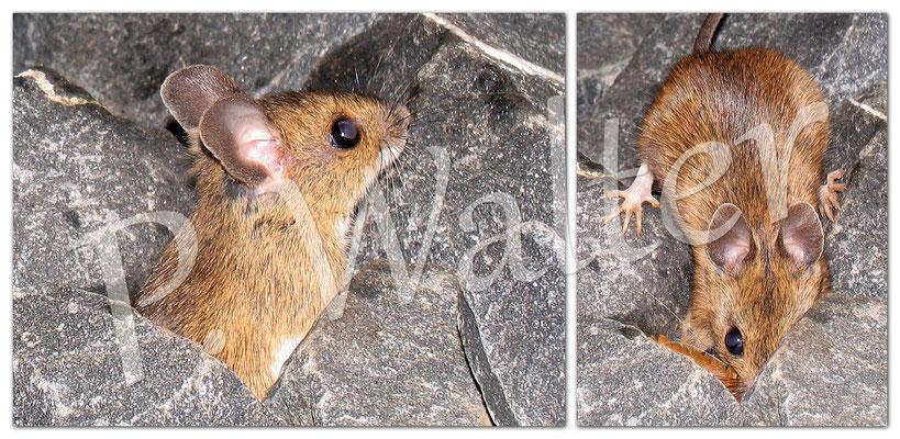 19.12.2012 : Maus, die an der Hauswand wohnt
