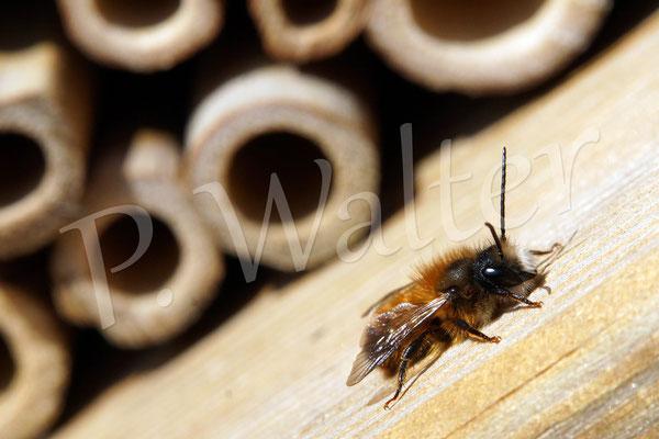 11.04.2015 : Männchen der Rostroten Mauerbiene