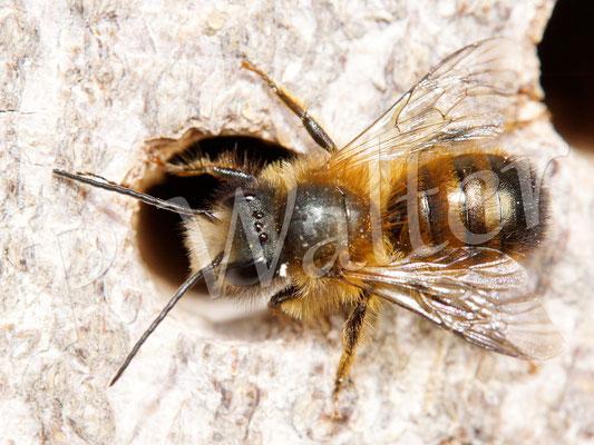17.04.2016 : Rostrote Mauerbiene, Männchen