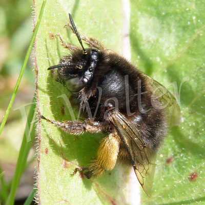 09.05.2017 : Frühlings-Pelzbiene mal in einer seltenen Ruheposition