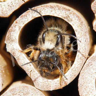 30.04.2017 : Pärchen der Rostroten Mauerbiene
