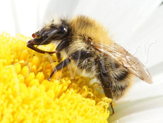 09.07.2016 : Hummel, die auf einer Margaritenblüte übernachtet hatte